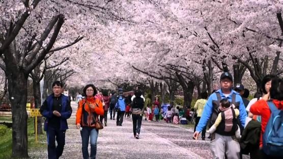 Yeouido Park-Cherry Blossom